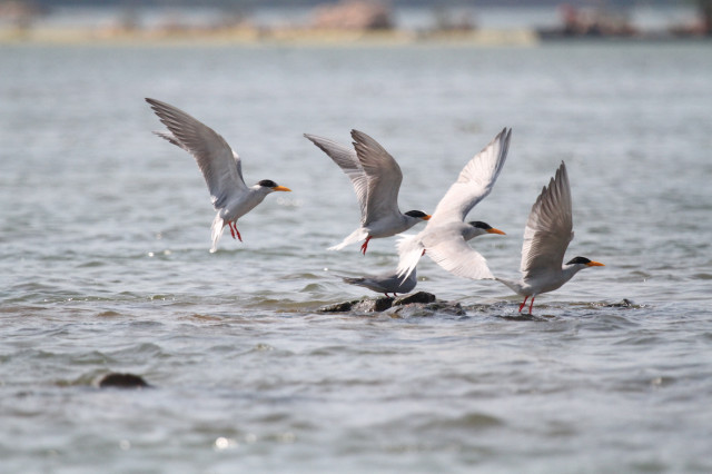 Population of river rare birds in Cambodia doubles in 5 years: conservationist group